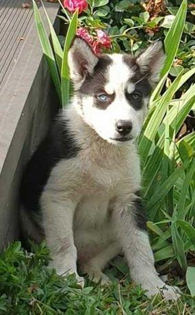 Siberian husky szczenięta z linii psów pracujących!!!