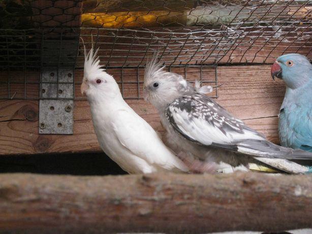Papugi Nimfy białogłowe i standard z 2021 r.