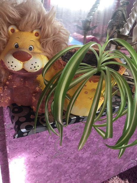 Продам комнатный цветок хлорофилл «Кудрявый Боня».