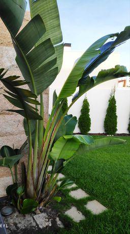 Plantas Strelicia Gigante