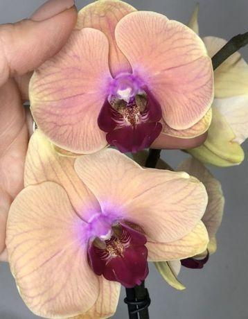 Орхидея Карибские Мечты 2цветоноса