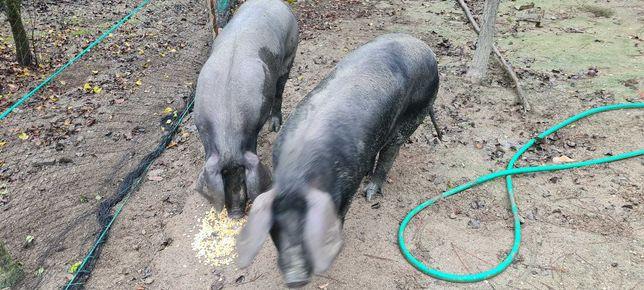 Vendo 2 porcas bisaras caseiras com 1 ano e meio