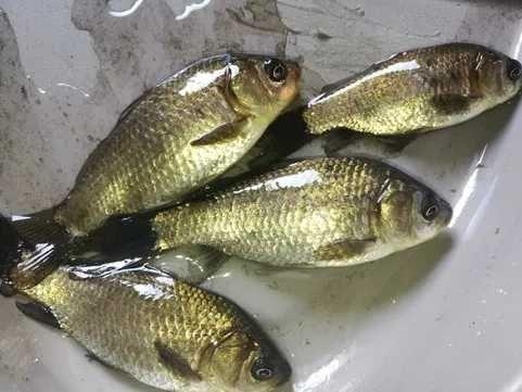 Ryby do stawu karaś wzdręga jako przynęta