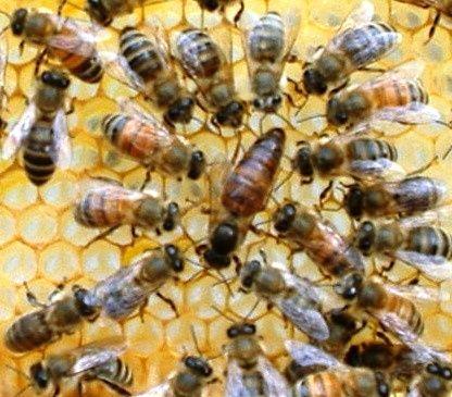 Odkłady pszczele:wielkopolskie,warszawskie zwykłe. Ule, pszczoły