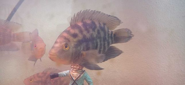 Vendo tilapias para aquário