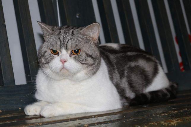 Шотландский Кот Том чемпион породы приглашает на вязку неаест