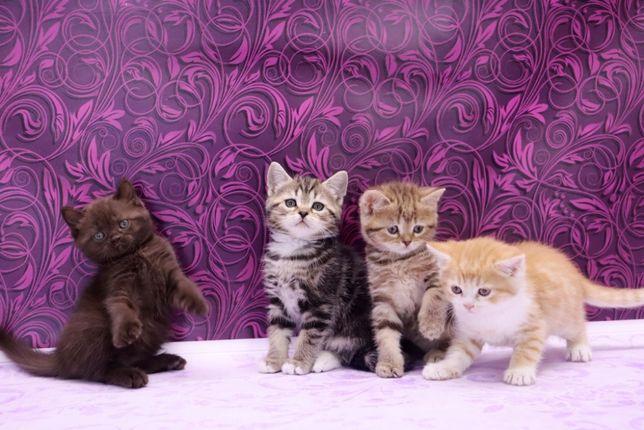 Чудесные шотландские котята с прямыми ушками