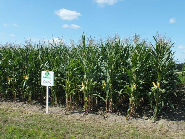 Nasiona kukurydzy kukurydza CEFOX kiszonka FAO 230