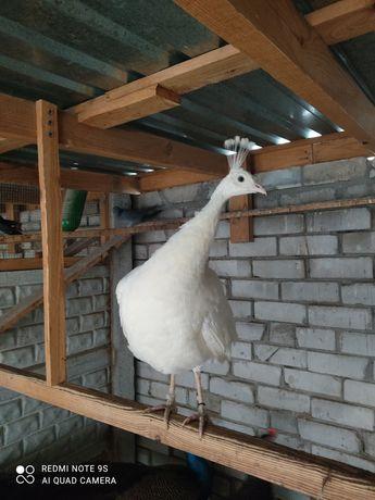 Белый павлин Самка
