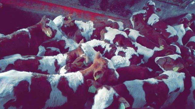 Byczki mięsne Kaleń