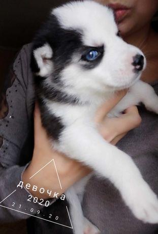 Блакитноокі Хаскі щенята