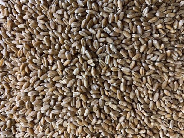 Пшеница на витграсс, для проращивания