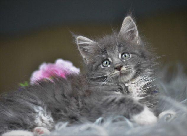 Śliczna niebieska koteczka MCO