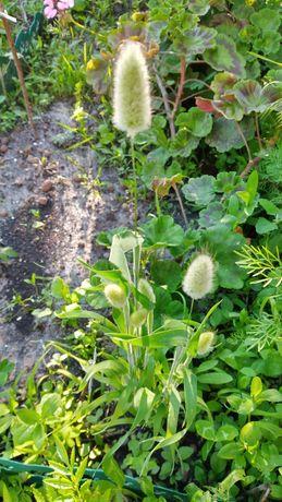 Зайцехвост, сухоцвет, семена