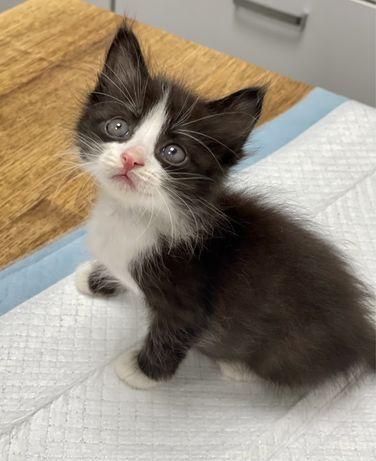 Котенок метис бомбейской кошки и невского кота