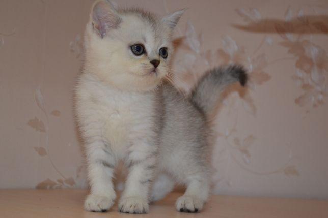 Шотландские котята серебристая шиншилла из питомника