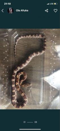 wąż zbozowy+akcesoria