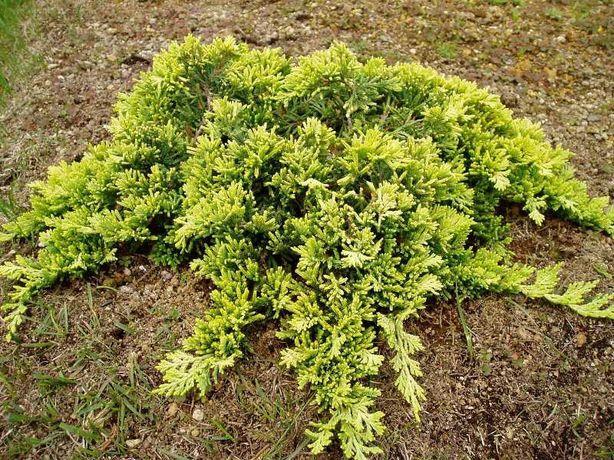 Jałowiec płożący Golden Carpet sadzonki multiplat, multipaleta