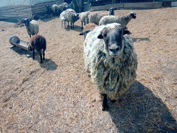 Продам овец, ягнят.
