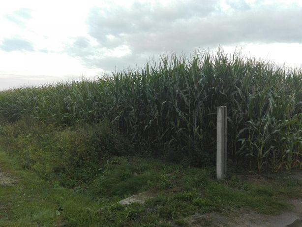 Kukurydza na kiszonke 3 ha