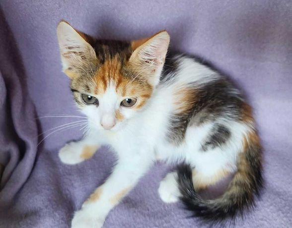 Мила маленька триколірна Джульєтта (1,5 міс.). кошка/котенок