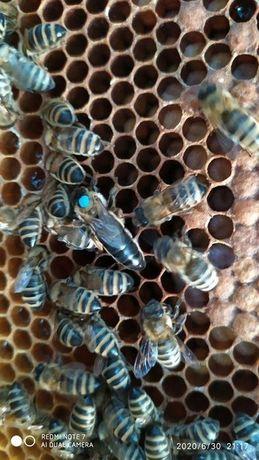 Пчелиная матка породы Карпатка - Акционные ЦеныПчеломатка Карпатка