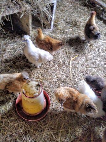 Sprzedam kurczaki silki i kaczki biegusy