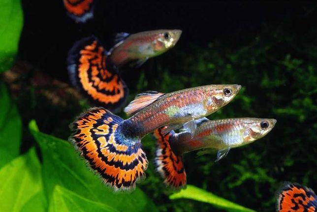 GUPIK PAWIE OCZKO - Poecilia reticulata ryby akwariowe