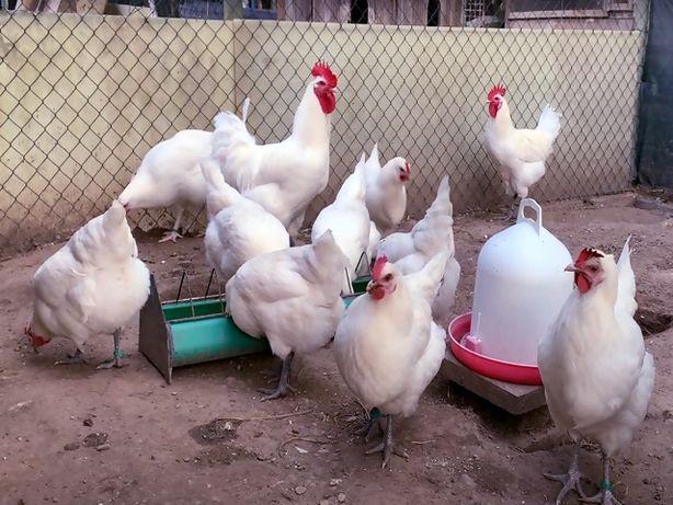 предлагаем инкубационное яйцо, Брес Гальские.