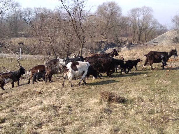 Продам запліднені 1-но та 2-во річні кози, опт. 5-7 шт.