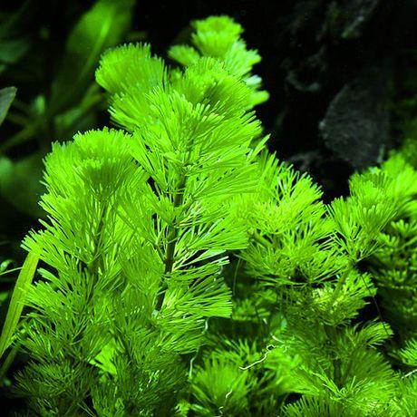 Cabomba aquatica sadzonki