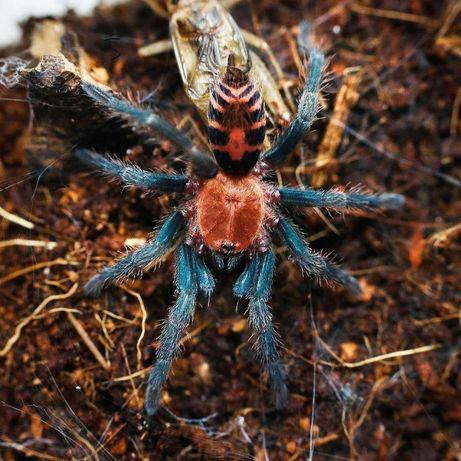 Самцы пауки для новичков Птицеед Cyclosternum fasciatum Доставка