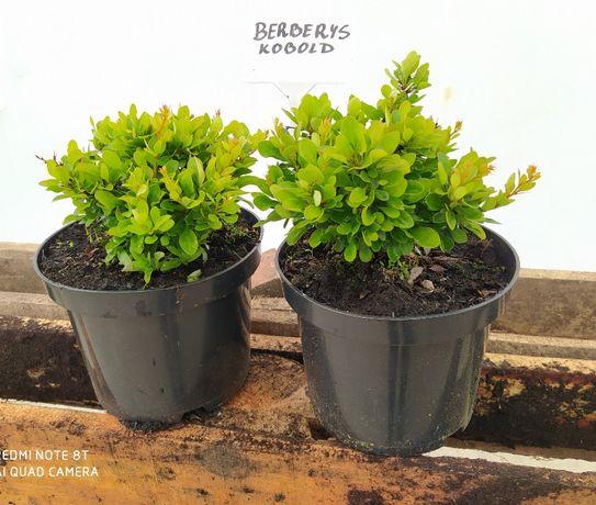 Berberysy różne odmiany Dostawa Gratis Rośliny Ozdobne skarpy ogrody
