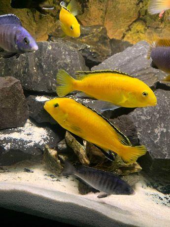 Pyszczaki Malawi Labidochromis caeruleus (yellow) Wysyłka