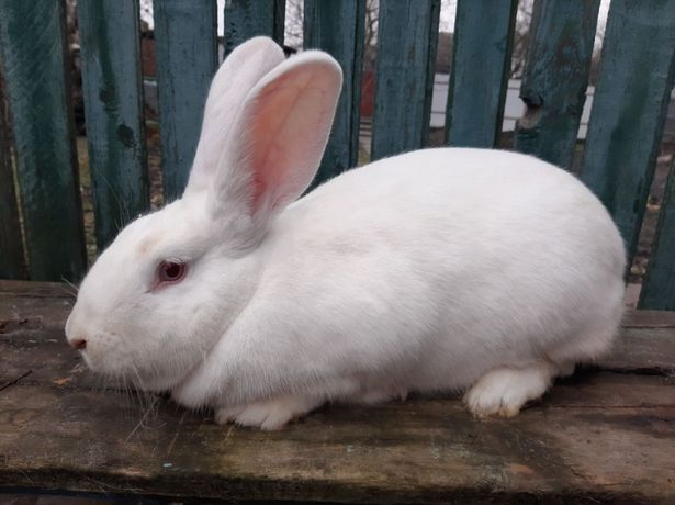продам кроликов породи термонская белая
