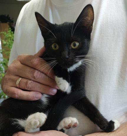 Черно белые котята м и д, 3 мес, оч.красивые, отдаю!