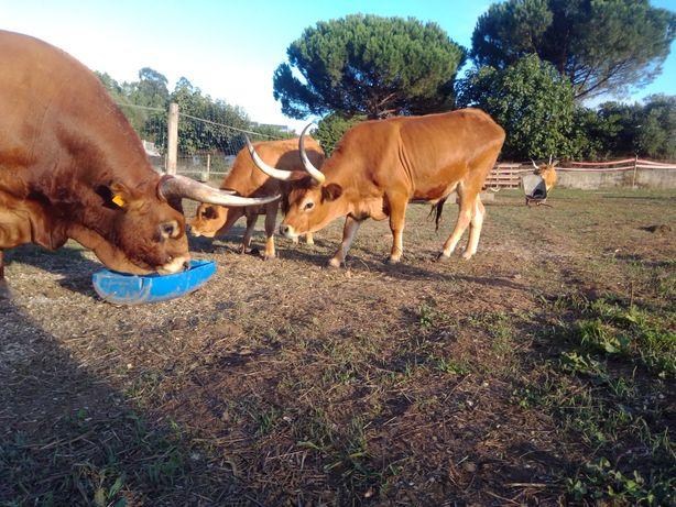 Vacas  Barrosā REPRODUTORas