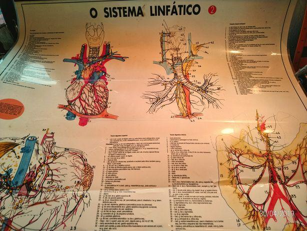 Poster plastificado sistema linfático