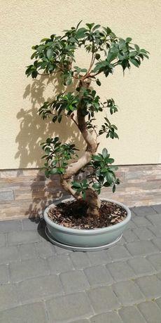 Drzewko bonsai, Ficus microcarpa + nawóz