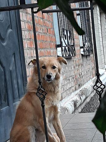 Ласковая стерилизованная  молодая собака Дина