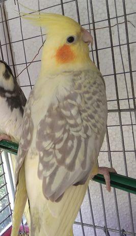 Попугай Корелла Нимфа