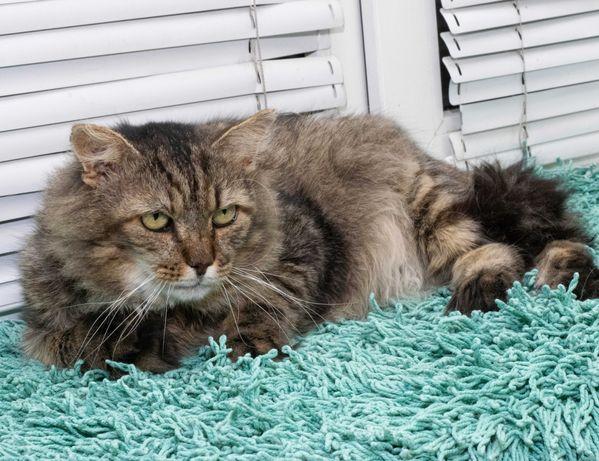 Мудрый, крупный кот Тоник (5 лет) порода Норвежская лесная