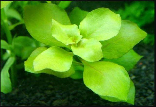 Аквариумное растения Людвигия болотная зеленая, вода, рыбка, грунт