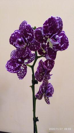 Продам орхидею Дикий кот