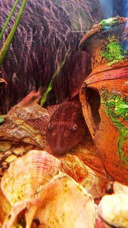 Zamienie Plekostomus / szt. 3/  na inne ryby lub rośliny..
