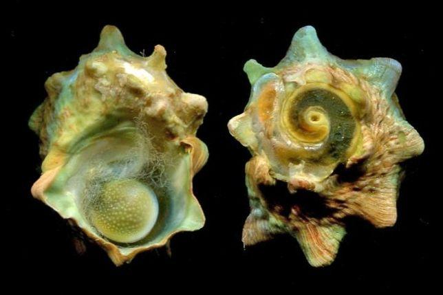 Morskie - Lunella cornata sm