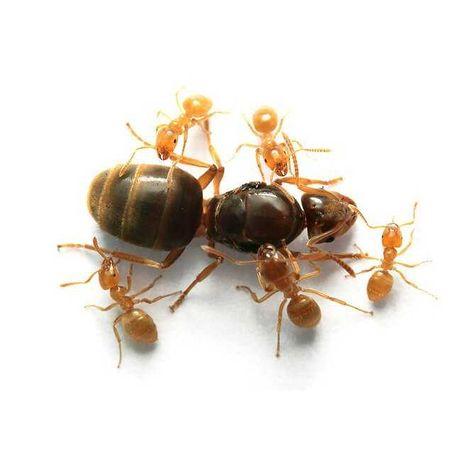 "Муравьи вида ""Lasius flavus"" - ""Жёлтый муравей"" [ДП]"