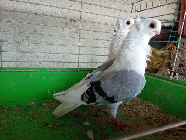 Gołębie ozdobne mewki mewka newki