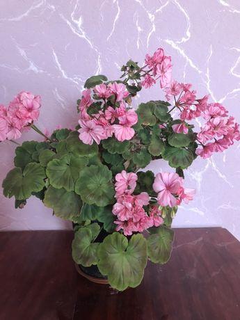 Продам цветок комнатный