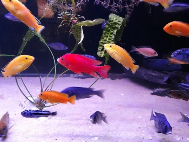 Pyszczaki ryby z malawi